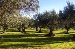 Idea regalo Adotta un olivo